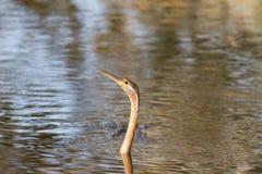 Nuoto africano dello snakebird del darter immagini stock