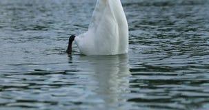 Nuoto bianco del cigno stock footage