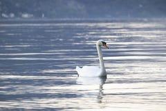 Nuoto bianco del cigno Fotografia Stock Libera da Diritti