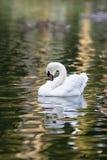 Nuoto bianco del cigno Fotografie Stock