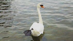 Nuoto bianco del cigno nel lago stock footage