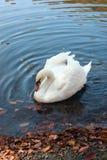 Nuoto bianco del cigno su un lago Immagine Stock