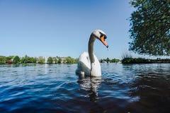 Nuoto bianco del cigno sul lago Alster a Amburgo un giorno soleggiato Fotografia Stock