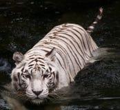 Nuoto bianco della tigre Fotografia Stock