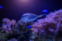 Nuoto blu del pesce in acqua scura immagine stock libera da diritti