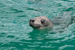 Nuoto capo della guarnizione di crabeater nell'acqua del turchese del Antar Fotografia Stock Libera da Diritti