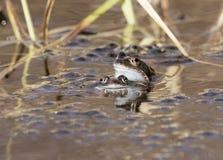 Nuoto comune del rospo, allevamento, Fotografia Stock