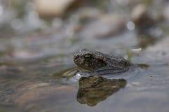 Nuoto comune del rospo, allevamento, Immagine Stock Libera da Diritti