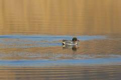 Nuoto comune di crecca di anas dell'alzavola del maschio in sole di sera immagini stock
