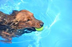 Nuoto dai capelli lunghi rosso del Dachshund Fotografia Stock Libera da Diritti
