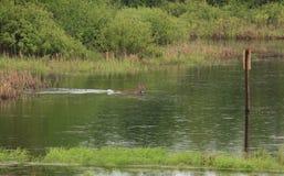 Nuoto dei cervi della coda bianca Fotografia Stock
