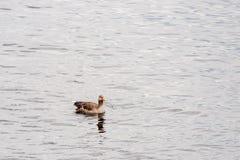 Nuoto del anser del Anser sul fiume di Alster Fotografia Stock