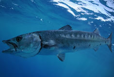 Nuoto del Barracuda nell'oceano Immagine Stock