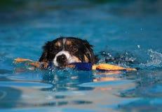 Nuoto del cane del Collie di bordo con il suo giocattolo Immagine Stock