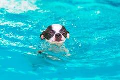 Nuoto del cane della chihuahua nello stagno Fotografia Stock