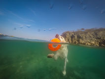 Nuoto del cane di Labrador con i punti di vista del Curacao di frisbee Fotografia Stock Libera da Diritti