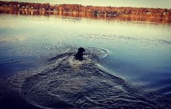 Nuoto del cane nel lago Immagine Stock Libera da Diritti