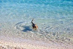 Nuoto del cane nel mare Fotografia Stock Libera da Diritti