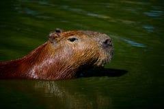 Nuoto del Capybara immagini stock libere da diritti