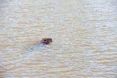 Nuoto del castoro Fotografia Stock Libera da Diritti