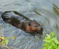 Nuoto del castoro in acqua Fotografie Stock