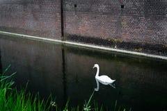 Nuoto del cigno in canale Fotografia Stock Libera da Diritti