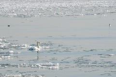 Nuoto del cigno muto in mezzo dei flussi del ghiaccio Fotografia Stock Libera da Diritti