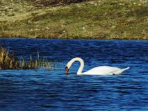 Nuoto del cigno nel fiume Immagine Stock