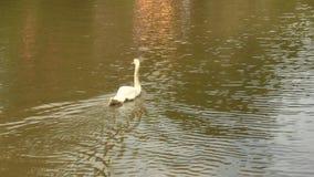 Nuoto del cigno nel lago video d archivio