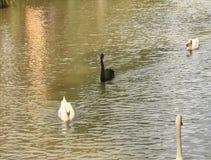 Nuoto del cigno nel lago archivi video