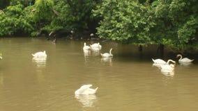 Nuoto del cigno nel lago stock footage