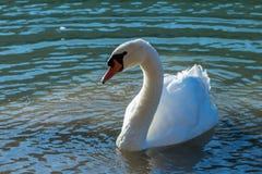 Nuoto del cigno nel lago Fotografia Stock Libera da Diritti