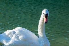 Nuoto del cigno nel lago Immagini Stock Libere da Diritti