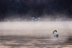 Nuoto del cigno nella nebbia immagine stock