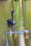 Nuoto del cigno nero in un lago in Travis Wetland Nature Heritage Park in Nuova Zelanda Immagini Stock
