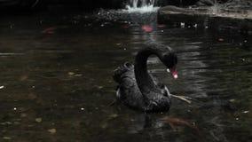 Nuoto del cigno nero in uno stagno stock footage