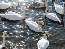 Nuoto del cigno sul fiume immagine stock