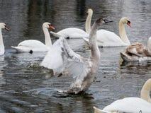 Nuoto del cigno sul fiume immagine stock libera da diritti