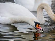Nuoto del cigno sul fiume fotografia stock