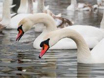 Nuoto del cigno sul fiume fotografie stock libere da diritti