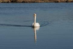 Nuoto del cigno sul fiume Fotografia Stock Libera da Diritti