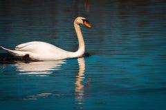 Nuoto del cigno in uno stagno un giorno nuvoloso fotografia stock