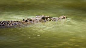 Nuoto del coccodrillo Fotografie Stock Libere da Diritti