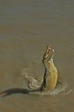 Nuoto del coccodrillo in Adelaide River Fotografia Stock