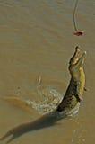 Nuoto del coccodrillo in Adelaide River Immagini Stock Libere da Diritti