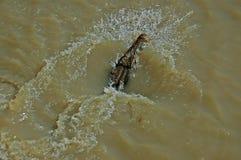 Nuoto del coccodrillo in Adelaide River Immagine Stock Libera da Diritti