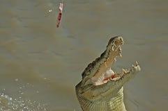 Nuoto del coccodrillo in Adelaide River Immagini Stock