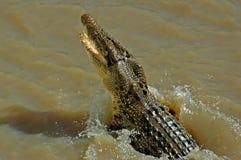 Nuoto del coccodrillo in Adelaide River Fotografie Stock Libere da Diritti