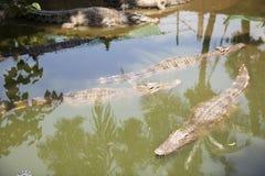 Nuoto del coccodrillo in uno stagno locale Fotografie Stock