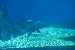 Nuoto del delfino Immagine Stock